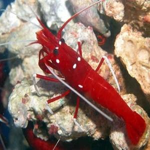 Blood Shrimp