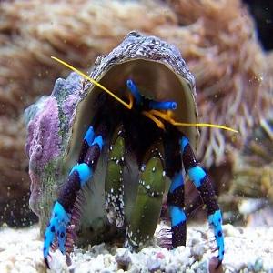 Blue Leg Hermit Crabs